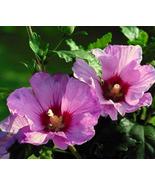 25 Seeds - Purple Rose Sharon Hibiscus Syriacus Tree Bush - $7.99
