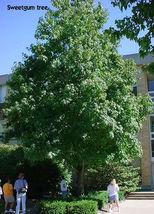 Sweetgum tree (Liquidambar styraciflua) image 3