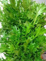 Heirloom Mizuna Mustard Bulk Asian Vigorous grower 1000seeds FREESHIPPING - $11.99