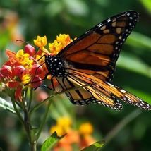 Tropical Milkweed Flower Seeds (Asclepias Curassavica) 100 Seeds - $11.99