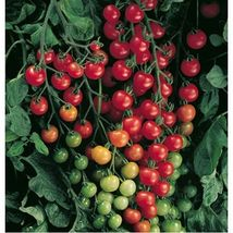 Small Red Cherry Tomato *Heirloom* Packet contains 100 seeds - $6.22