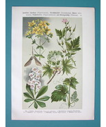 FIELD FLOWERS & Trees Grape Chestnut Trees - COLOR Litho Print - $7.64