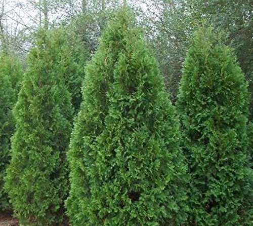 Primary image for TEN Blue Cone Arborvitae Evergreen