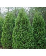 TEN Blue Cone Arborvitae Evergreen - $53.56