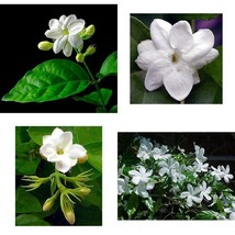 "Jasmine Plant Arabian Tea Maid of Orleans 4""Pot Live Plant Indoor or Out... - $25.14"