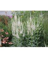 Veronicastrum virginicum Culver's Root 200+ Seeds - $9.90