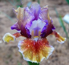 4 Gorgeous Tall Bearded Iris Bulbs Over Alaska Flowers  * RARE and Fast ... - $12.99
