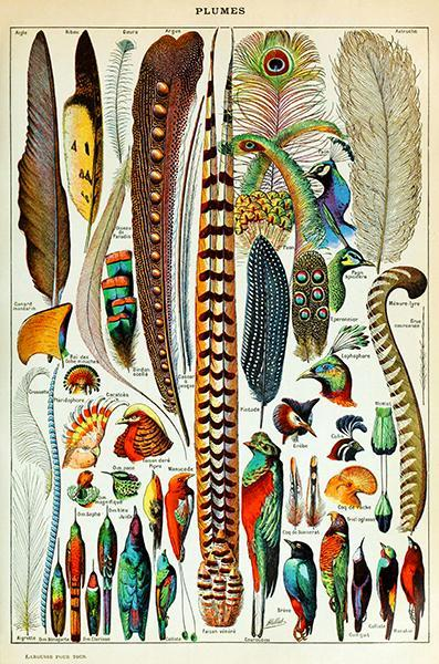 Primary image for Feathers - Plumes Chart - Bird Illustration Poster