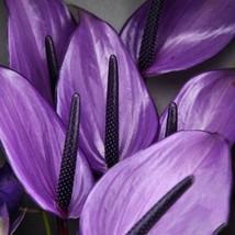 100pcs anthurium purple thumb200