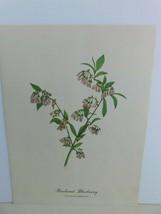 VTG Pineland Blueberry  (Vaccinium Tenellum)  9x12 Frameable Print Natur... - $11.75