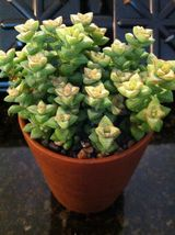 "CRASSULA RUPESTRIS CRASSULA COMMUTATA BABY NECKLACE 2"" SUCCULENT POT - $31.89"