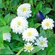 "Zinnia ""Polar Bear"" 300 Flower Seeds  - $15.98"