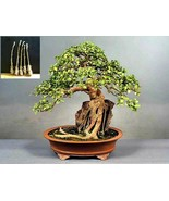 5 Green Ficus sycomorus Tree Cutting - An amazing and special tree - $38.49