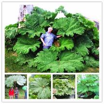 Gunnera Manicata Seeds Also Called Giant Rhubarb Seeds Plant in Garden 5... - $4.76
