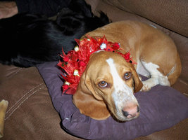Festive special occasion collar for dogs or cats - $5.00