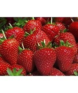 Evie 25 Everbearing Bare Root Strawberry Plants - $16.77