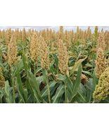 Organic Grain Sorghum (Milo) Non-GMO Cereal Garden Grains Crop ½ oz (~55... - $6.86