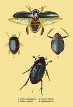 Beetles: Dytiscus Dimidiatus, Gyrinus Nalator et al. #2 by Sir William Jardine - - $19.99+