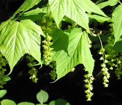 10 ACER pensylvanicum Tree Seeds, Striped Maple, Moose Maple Seeds. - $7.95