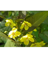 Organic Native Plant, Purple Fringed Loosestrife (Lysimachia ciliata) - $3.50