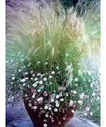 25 seeds - Mexican Feather Grass Pony Tails Ornamental Stipa Tenuissima ... - $17.99