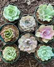 8 pots of 4 Inch Rosette Echeveria Succulent, fully rooted image 1