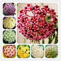 MIX Color Orchid Ball Rare Ball Orchid Flower Perennial Plant Hoya Carnosa - $4.76
