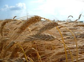 SHIPPED From US, Atlantic Barley, 5 pounds RM - $108.99