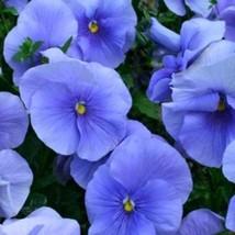 Blue Pansy Seeds, Blue Viola Seeds, Blue Pansies, Heirloom Non-Gmo Seeds... - $21.59