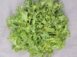 1/4 oz Packets of Green Curled Ruffec Endive Plants - $24.55