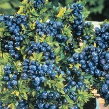 Bluecrop Blueberry Plants 1 Year Rooted Plants  - $22.10