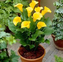 2 BULBS Very Wonderful Calla Yellow Flower IMA1 - $16.99