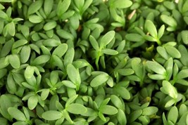 Cress Curled Non GMO Heirloom Sprouting / Microgreens Seeds Sow No GMO® USA - $2.86+