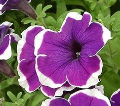 100 Pelleted Candypops Blue Picotee Pelleted Petunia Seeds Garden Starts... - $31.68