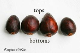 2 Organic Avocado Seeds, Non-GMO, Variety: Hass image 5