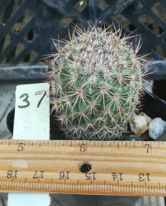 Mammillaria sonorensis Mini Cold hardy Cactus 37