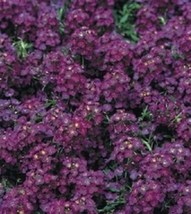 50 Pcs Seeds Sweet Carpet Dark Purple Alyssum Flower- RK  - $14.00