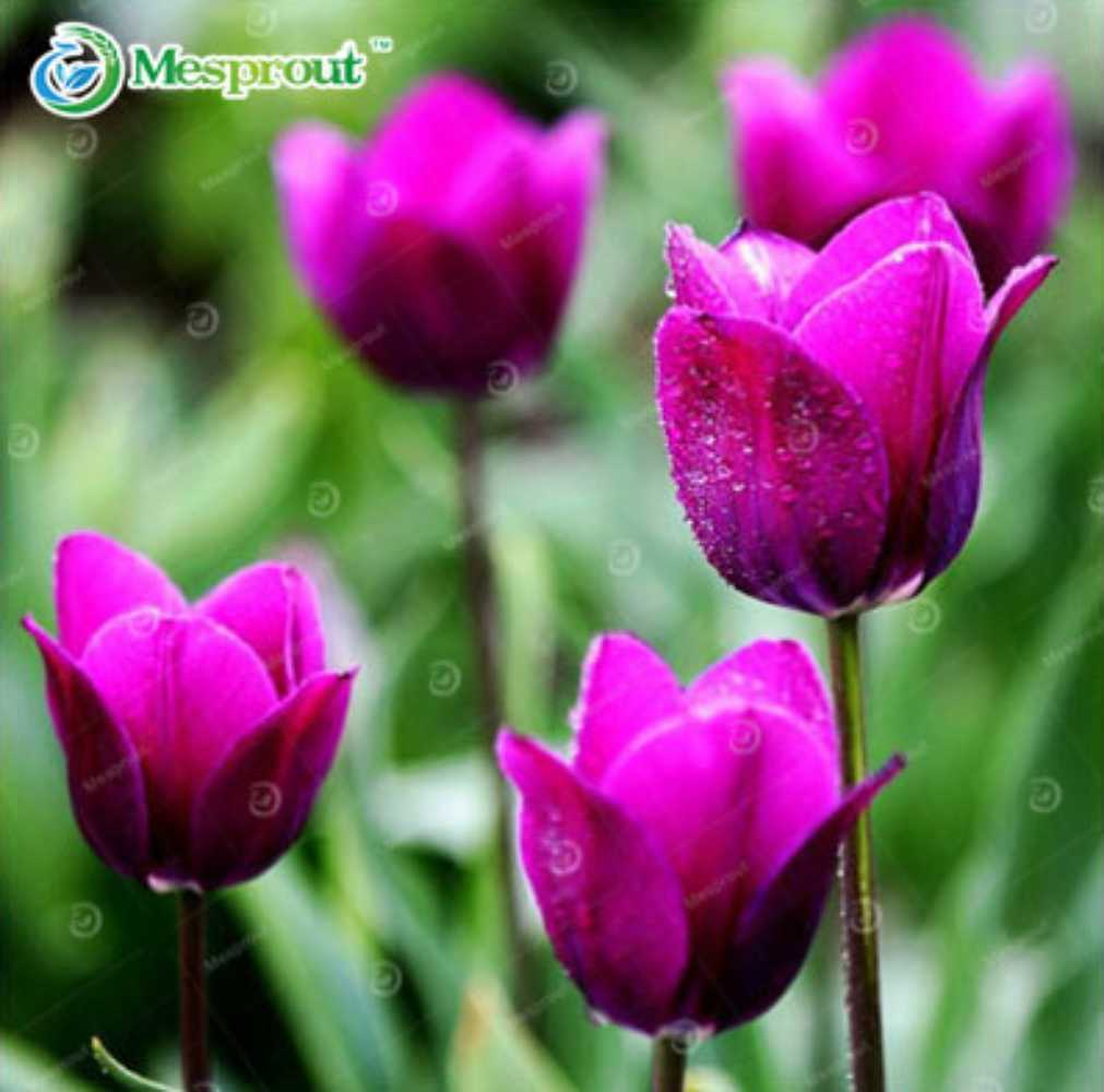 Most Beautiful Plants For Bedroom: Most Beautiful And Colorful Tulip Plants Perennial Home
