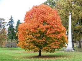 Sugar Maple  (Acer saccharum) image 1