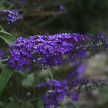 Outdoor Living - Buddleia 'Blue Knight' Bush 3 Plants – Gardening - tpi - $83.95