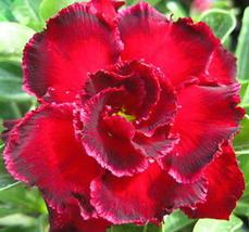 2pcs Very Admirable Rosemarie Dark Red Desert Rose Adenium Obesum Seeds ... - $14.94