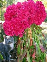 Cockscomb Seeds, Fuchsia Fantasy, Heirloom Seeds Very Unusual Blooms, 10... - $9.99