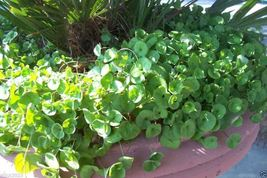 SHIPPED From US_Dichondra Seed (Dichondra Repens) Ground Cover, 10 lbs -WB - $558.99