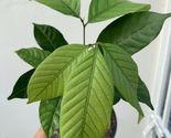 Rambutan Nephelium Lappaceum Plant Tree Live PLANT FRUIT - $163.97 CAD