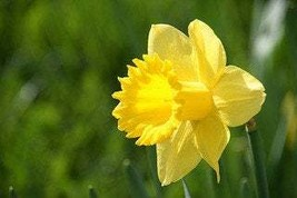 Wild Daffodil 50 bulbs,Lent Lily (NARCISSUS PSEUDONARCISSUS image 1