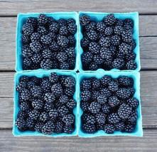 1 Triple Crown Thornless Blackberry Plant- Great Tasting Large Berries V... - £4.49 GBP