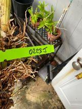Schomburgkia grandiflora Myrmecophila Species Orchid Plant Blooming 0223j image 5
