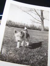 Rare Vintage Dog Photograph Circa 1920-50s Scottish Terrier Perspective ... - $8.09