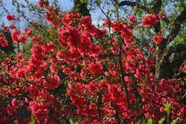 20 Seeds - Japanese Quince Chaenomeles japonica Tree Seeds #TSP - $16.99