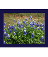 Patch of South Texas Bluebonnets Fine Art Print - $17.50